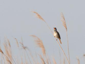 Vogel im Schilf